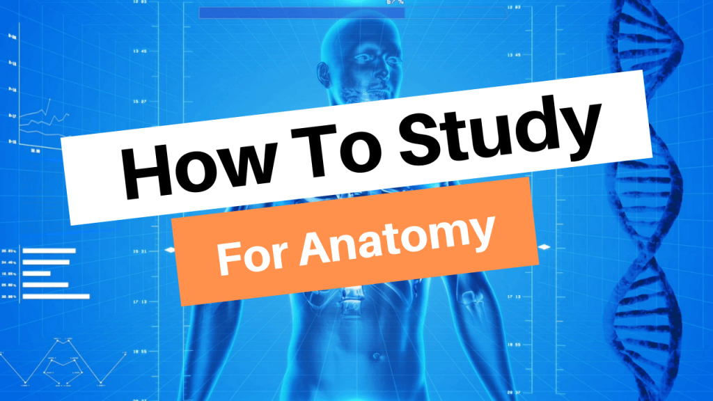 How to study for anatomy like a pro
